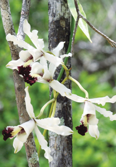 Banana_Orchid-(Read-Only)