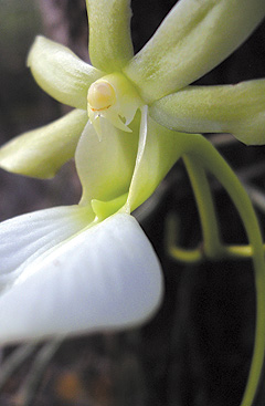 Ghost-Orchid-(Read-Only)