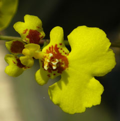 Orchid-3-Mostly-Yellow-S