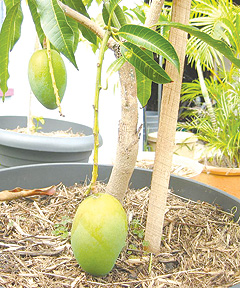 mango tree in a pot
