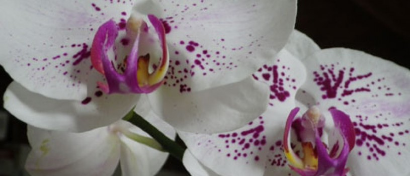 Have a bloomin' good time at park's annual Orchid Show